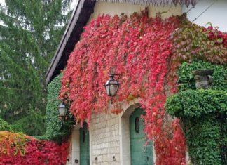 Fassadenbegrünung mit Kletterpflanzen
