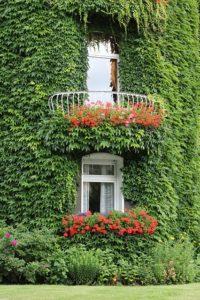 Fassadenbegrünung immergrün