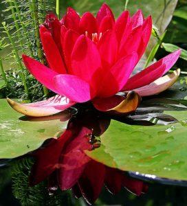 Pinke Wasserlilie für den Teich