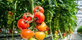 Tomatengewäachshaus Ratgeber, Anbau und Pflege von Tomaten