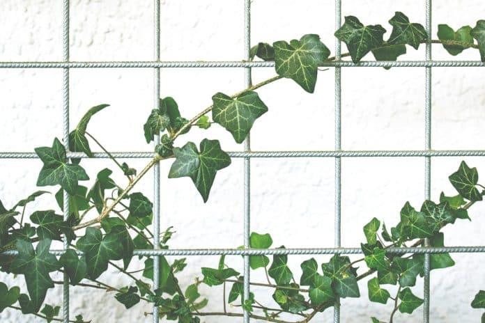 fassadengestaltung kletterpflanze