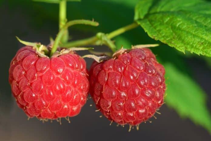 Himbeere (Rubus idaeus) – Anbau und Pflege